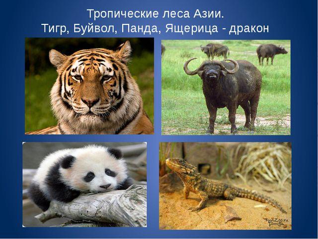 Тропические леса Азии. Тигр, Буйвол, Панда, Ящерица - дракон