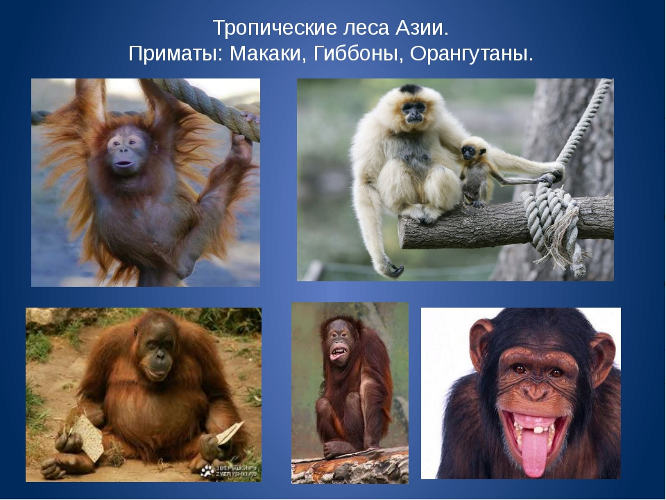 Тропические леса Азии. Приматы: Макаки, Гиббоны, Орангутаны.