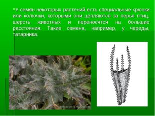 У семян некоторых растений есть специальные крючки или колючки, которыми они