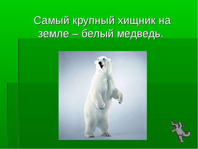 Самый крупный хищник на земле – белый медведь.