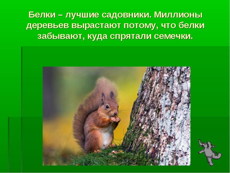 Белки – лучшие садовники. Миллионы деревьев вырастают потому, что белки забыв...