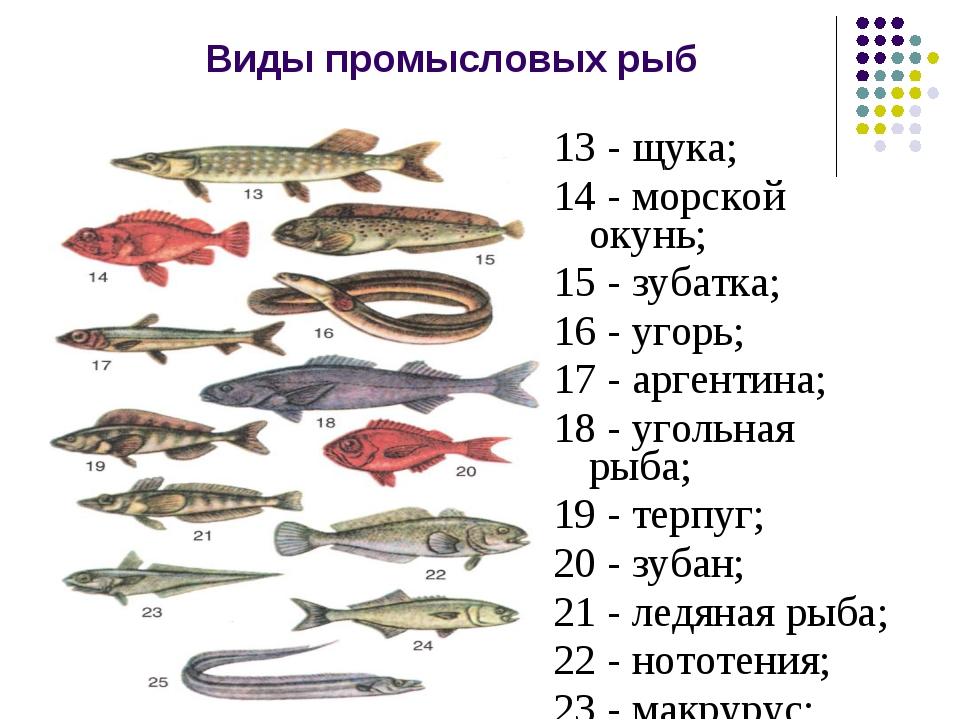 Виды промысловых рыб 13 - щука; 14 - морской окунь; 15 - зубатка; 16 - угорь;...