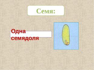 Одна семядоля Семя: