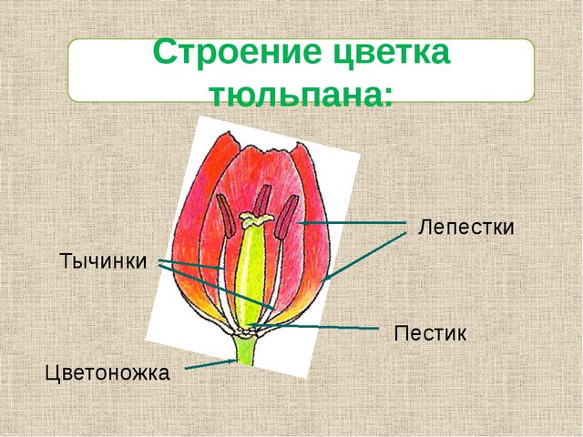Лепестки Тычинки Цветоножка Пестик Строение цветка тюльпана: