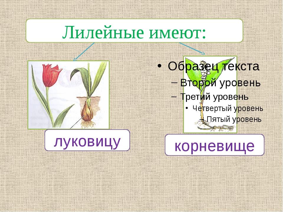 Лилейные имеют: луковицу корневище