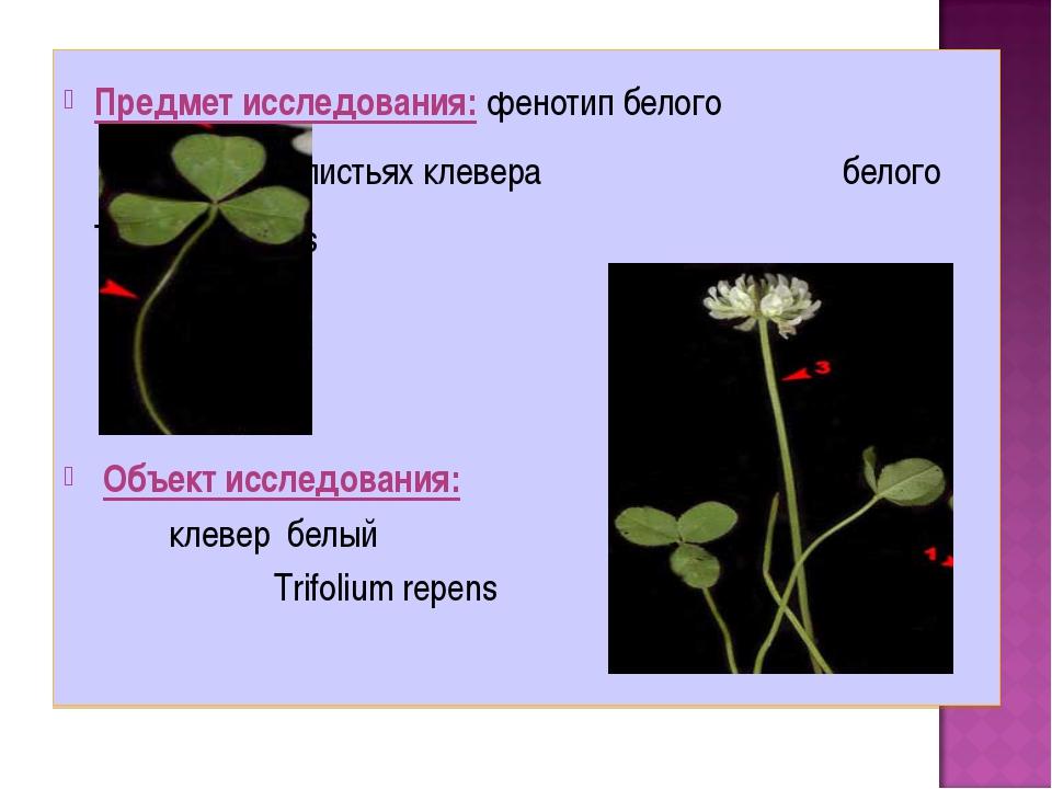 Предмет исследования: фенотип белого пятна на листьях клевера  белого T...