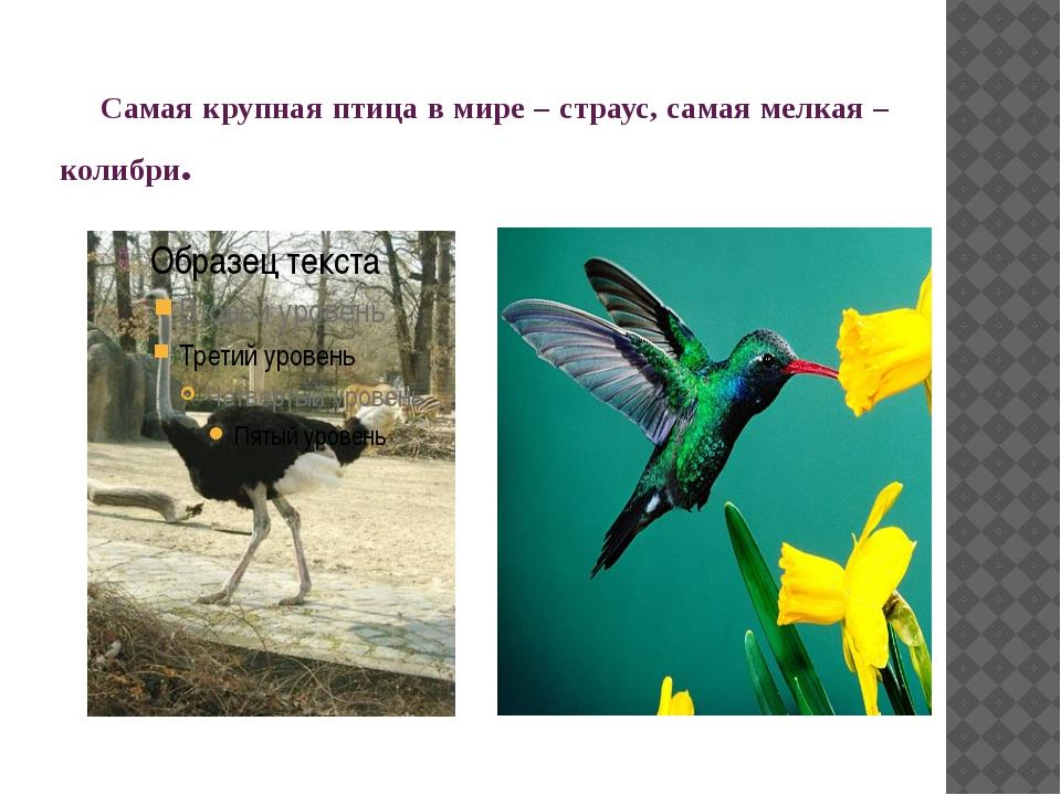 Самая крупная птица в мире – страус, самая мелкая – колибри.