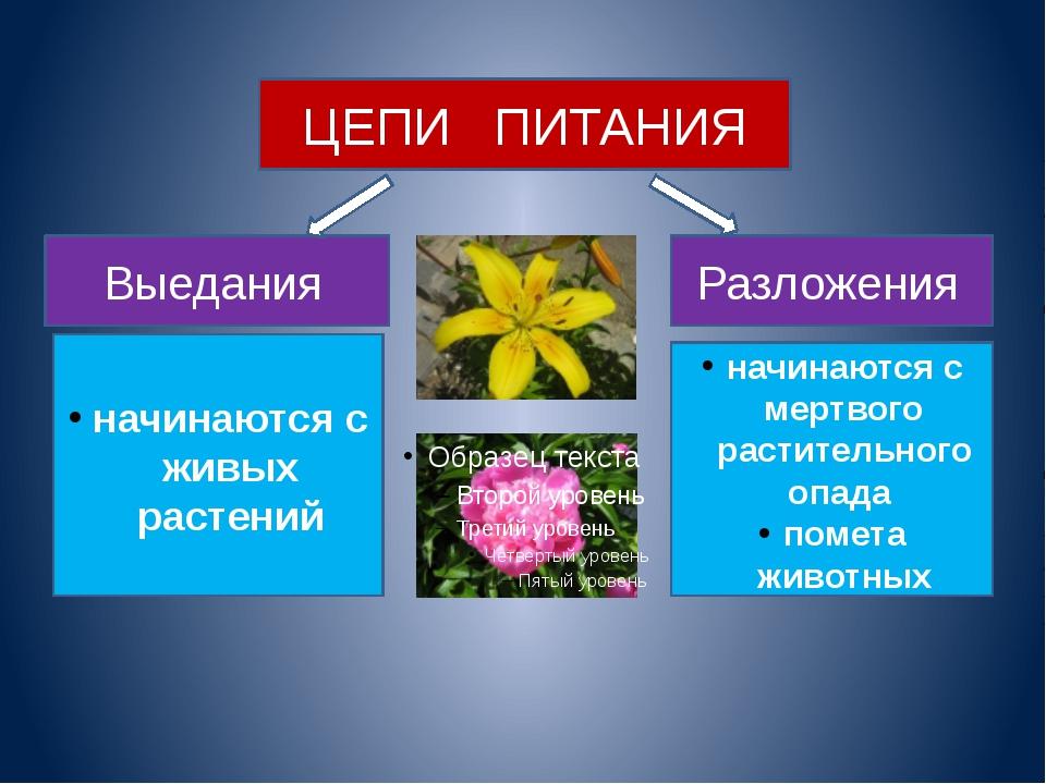 ЦЕПИ ПИТАНИЯ Выедания Разложения начинаются с живых растений начинаются с мер...