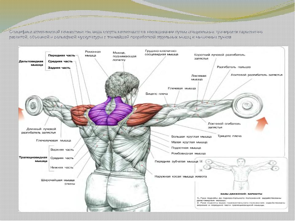 Специфика атлетической гимнастики как вида спорта заключается в наращивании...