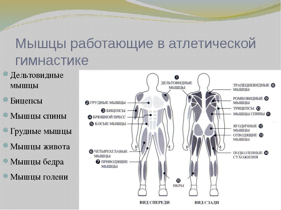 Мышцы работающие в атлетической гимнастике Дельтовидные мышцы Бицепсы Мышцы с...