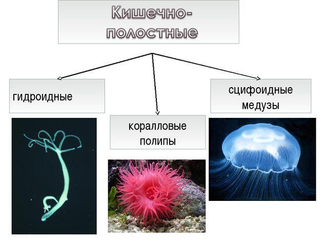 гидроидные сцифоидные медузы коралловые полипы