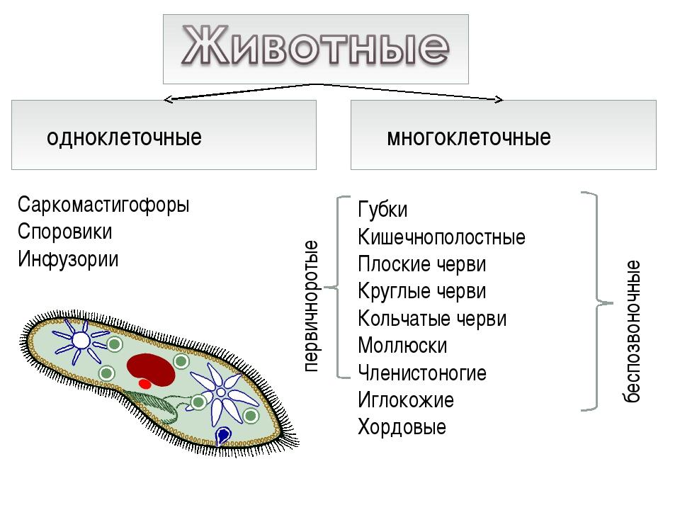 одноклеточные многоклеточные Саркомастигофоры Споровики Инфузории Губки Кишеч...