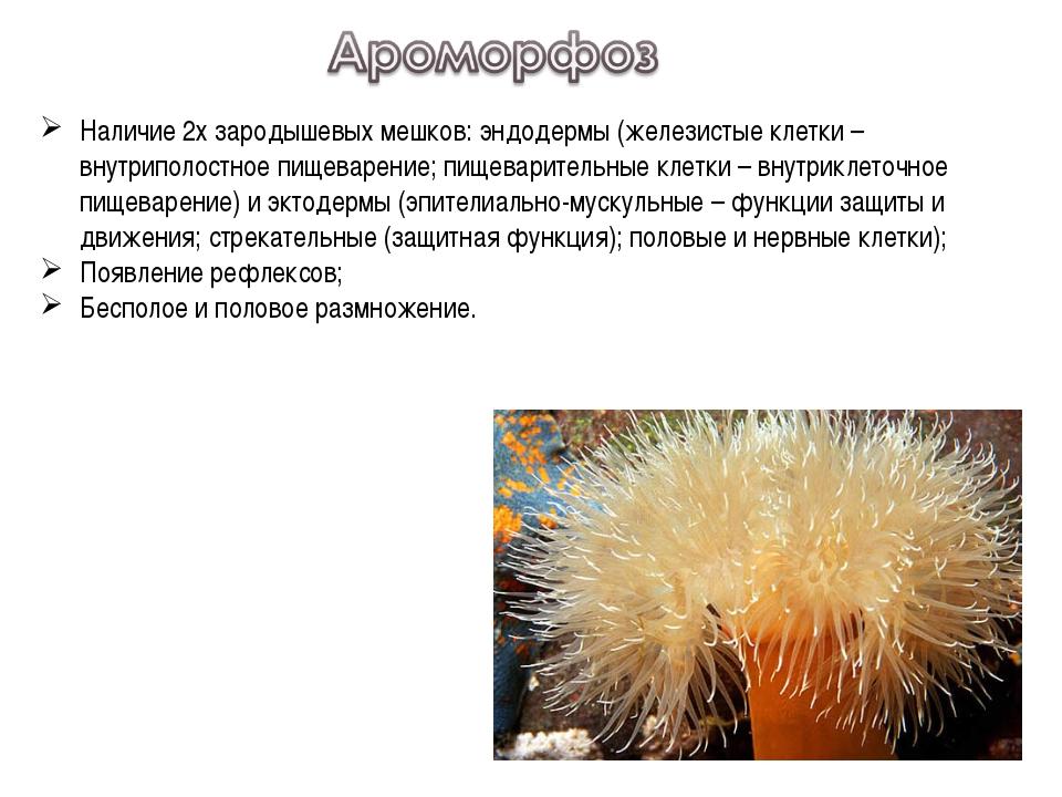 Наличие 2х зародышевых мешков: эндодермы (железистые клетки – внутриполостное...