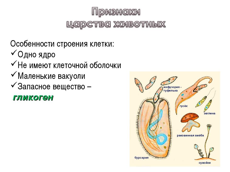 Особенности строения клетки: Одно ядро Не имеют клеточной оболочки Маленькие...