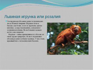 Львиная игрунка или розалия Эта маленькая обезьянка живет в тропических лесах