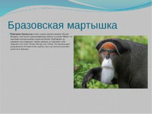 Бразовская мартышка Мартышку бразовскуюможно назвать королем низших обезьян.
