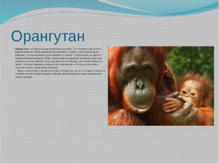 Орангутан Орангутан– огромная человекообразная обезьяна. Тело покрыто красно