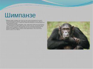 Шимпанзе Шимпанзетоньше и подвижнее орангутана, весит сорок–пятьдесят килогр