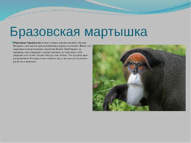 Бразовская мартышка Мартышку бразовскуюможно назвать королем низших обезьян....