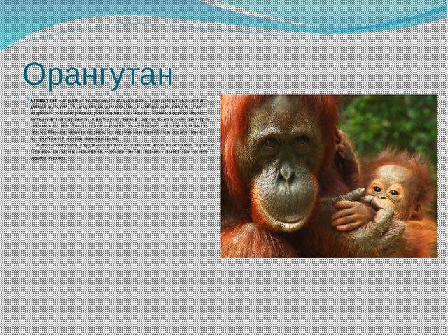 Орангутан Орангутан– огромная человекообразная обезьяна. Тело покрыто красно...