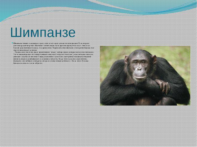Шимпанзе Шимпанзетоньше и подвижнее орангутана, весит сорок–пятьдесят килогр...