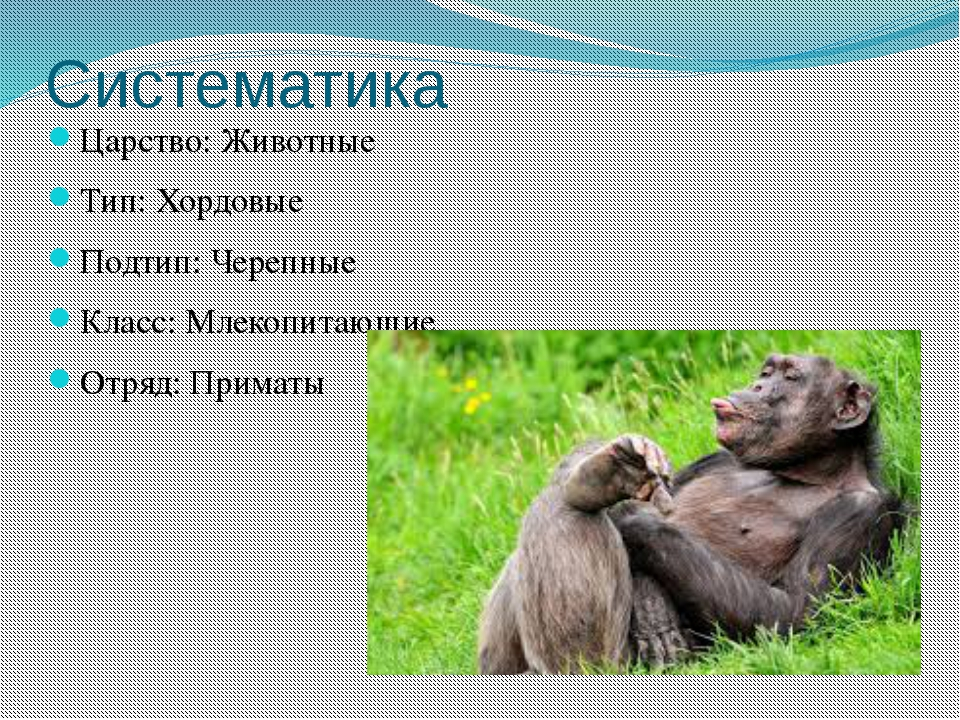 Систематика Царство:Животные Тип:Хордовые Подтип: Черепные Класс:Млекопита...