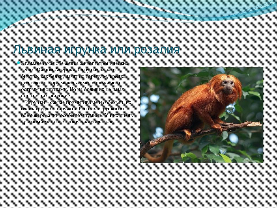 Львиная игрунка или розалия Эта маленькая обезьянка живет в тропических лесах...