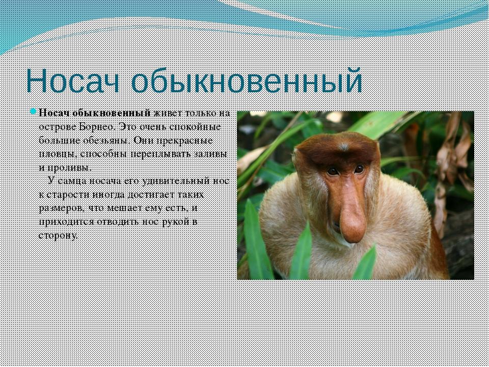 Носач обыкновенный Носач обыкновенныйживет только на острове Борнео. Это оче...