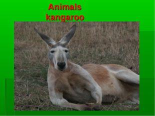 Animals kangaroo