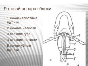 Ротовой аппарат блохи 1 нижнечелюстные щупики 2 нижние челюсти 3 верхняя губа