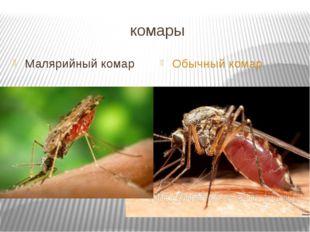 комары Малярийный комар Обычный комар