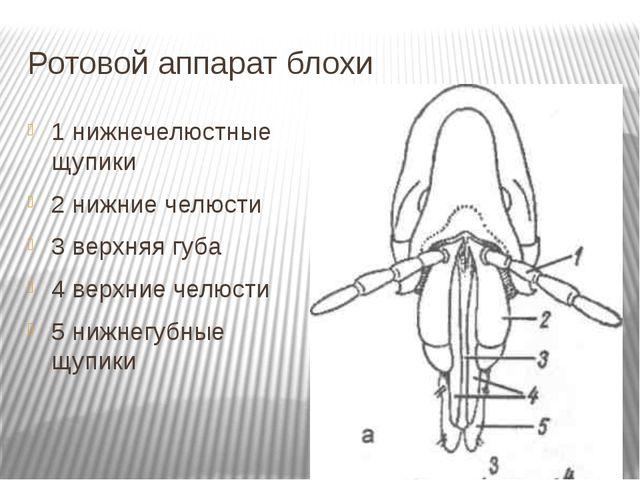 Ротовой аппарат блохи 1 нижнечелюстные щупики 2 нижние челюсти 3 верхняя губа...