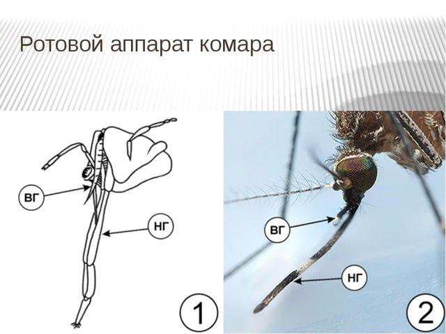 Ротовой аппарат комара
