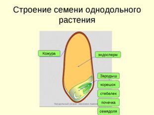 Строение семени однодольного растения Кожура эндосперм Зародыш корешок стебел