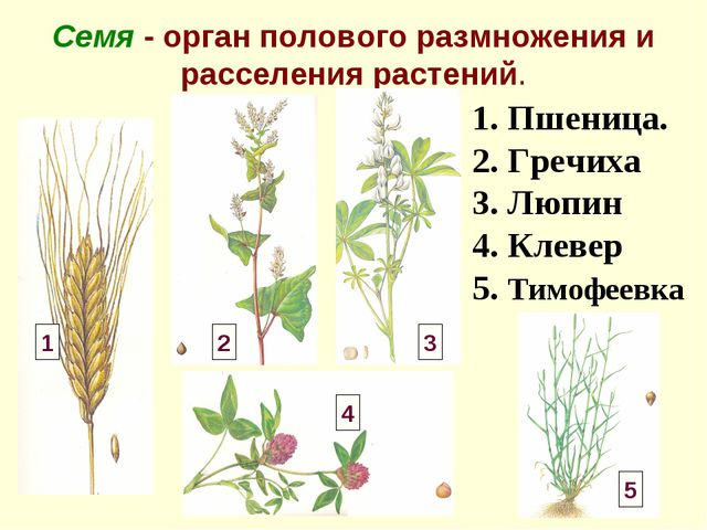 Семя - орган полового размножения и расселения растений. 1. Пшеница. 2. Гречи...