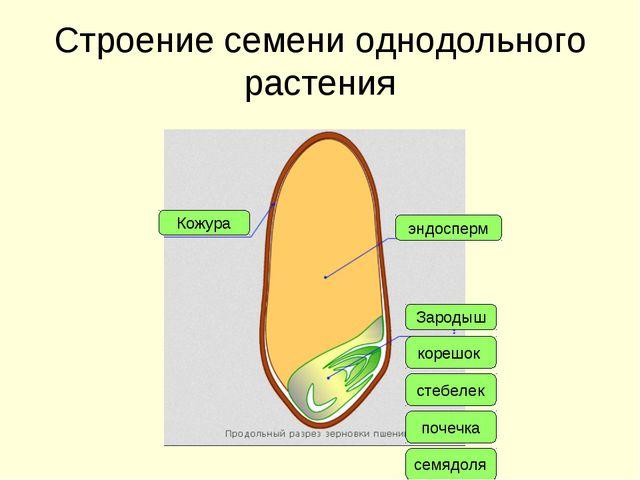 Строение семени однодольного растения Кожура эндосперм Зародыш корешок стебел...