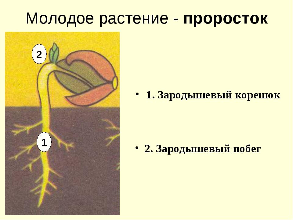 Молодое растение - проросток 1. Зародышевый корешок 2. Зародышевый побег 1 2