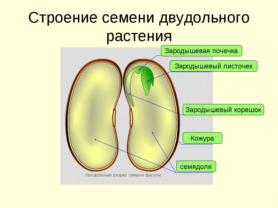 Строение семени двудольного растения Кожура семядоли Зародышевый корешок Заро...