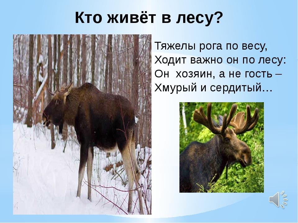Кто живёт в лесу? ? Тяжелы рога по весу, Ходит важно он по лесу: Он хозяин...