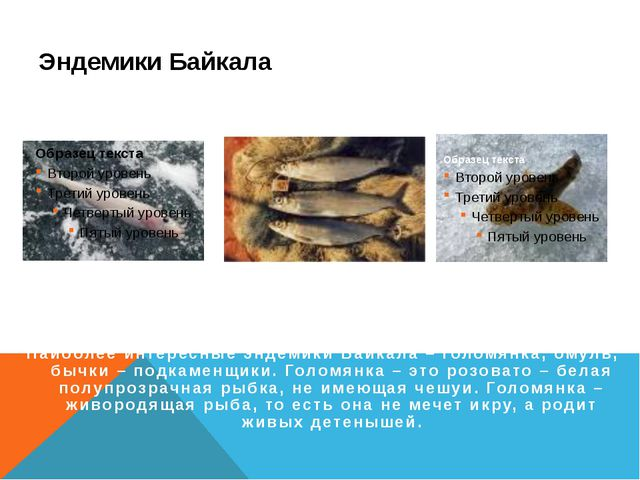 Эндемики Байкала Голомянка Омуль Бычки Наиболее интересные эндемики Байкала –...