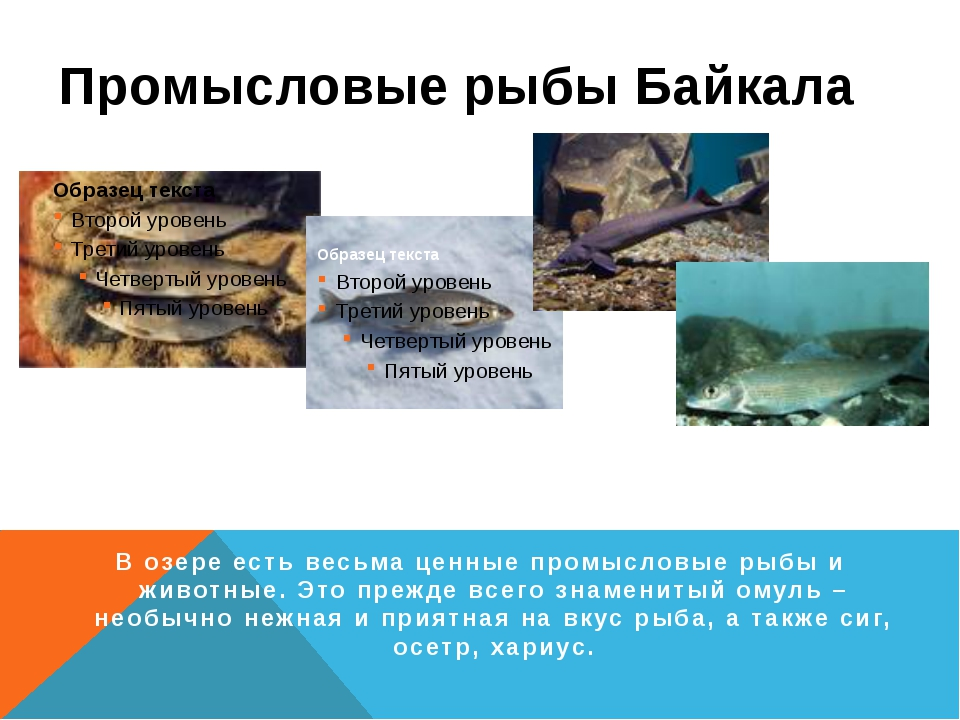 Промысловые рыбы Байкала Омуль Сиг Осётр Хариус В озере есть весьма ценные пр...