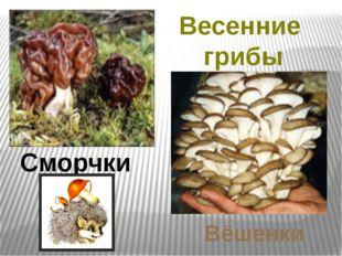 Весенние грибы Сморчки Вёшенки