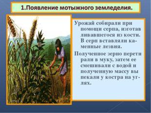 Урожай собирали при помощи серпа, изготав ливавшегося из кости. В серп вставл