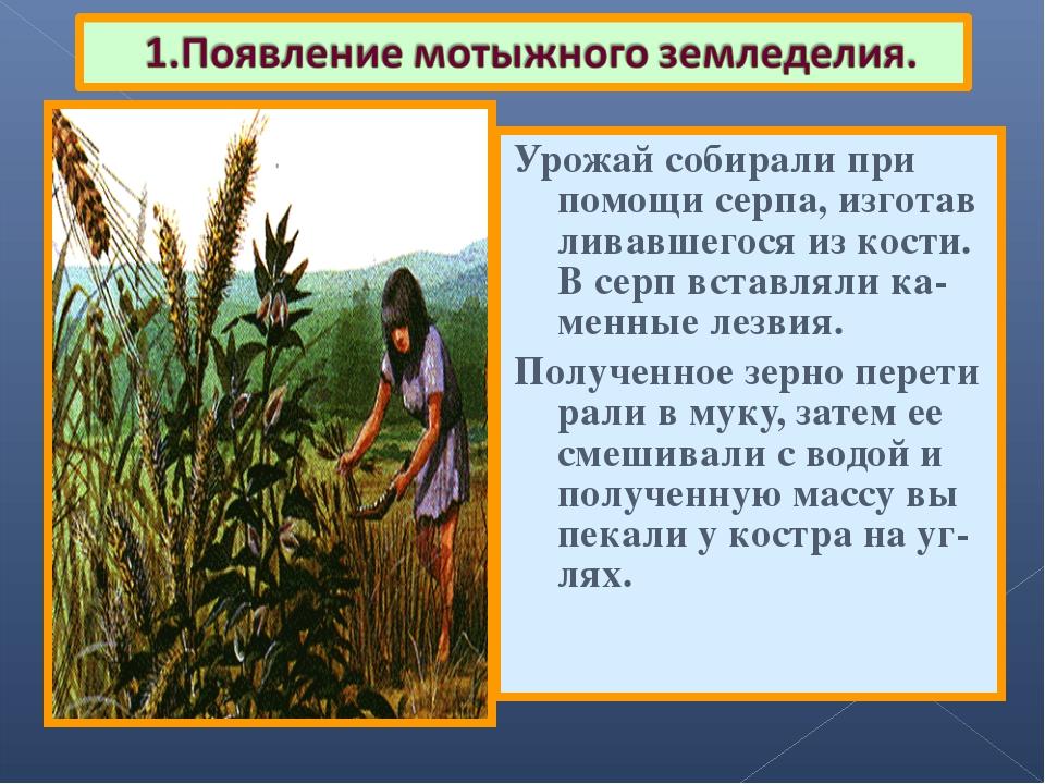 Урожай собирали при помощи серпа, изготав ливавшегося из кости. В серп вставл...