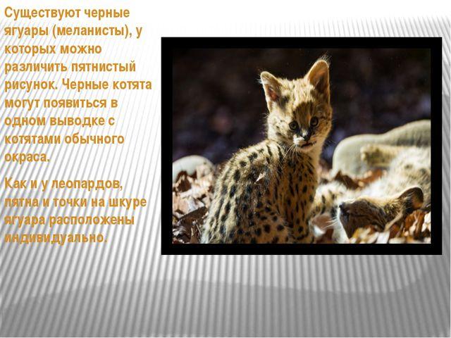 Существуют черные ягуары (меланисты), у которых можно различить пятнистый ри...