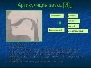 Артикуляция звука [Й][j] Губы приближены к зубам; Зубы сближены; Кончик языка