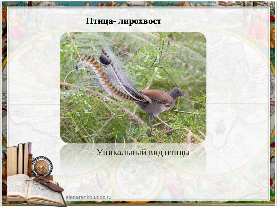 Птица- лирохвост Уникальный вид птицы
