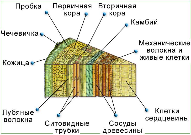 http://biologymoscow.ucoz.ru/illustracii/botanika/vyshie/razn/111vnutrennee_Stroenie_Steblya.jpg