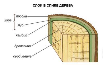 http://ebiology.ru/wp-content/uploads/2010/06/sloivspiledereva.jpg