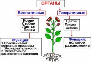 http://vsybiologia.ru/wp-content/uploads/2013/01/%D0%A0%D0%B8%D1%81%D1%83%D0%BD%D0%BE%D0%BA1-300x205.jpg